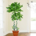 Artificial Ficus Tree 195cm Height