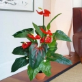 Artificial Anthurium Plants