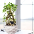 Serissa Bonsai Plant about 30cm height