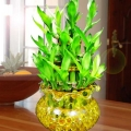 Lucky Bamboo In Glass With Crystal Soil