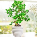 Fukien Tea Bonsai Singapore Delivery