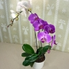 2-colored Life Phalaenopsis Plants