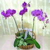 Live Phalaenopsis Orchids Plants in Basket