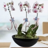 3 Live Phalaenopsis Orchids Plants In Vase