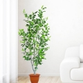 Artificial Ficus Plants 5.5 Feet Height