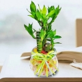 Dracaena plant 荷花竹 With Crystal-Soil in Recycle Glass V